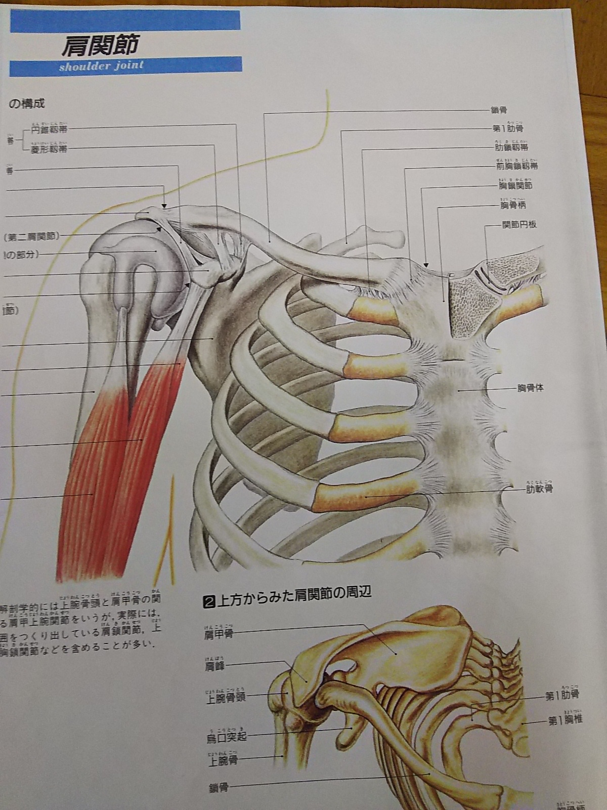 肩甲骨(けんこうこつ)の後ろにある肋骨(ろっこつ)